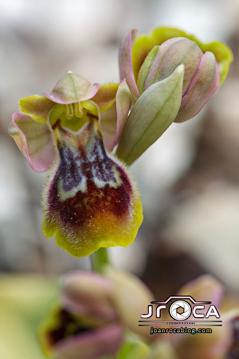 Ophrys ×donatae