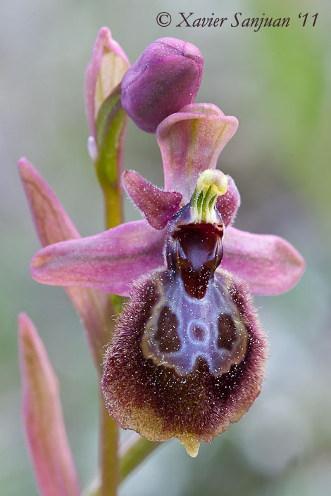 Ophrys ×heraultii