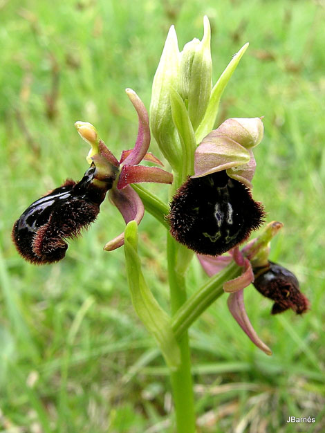 Ophrys catalaunica x O. speculum