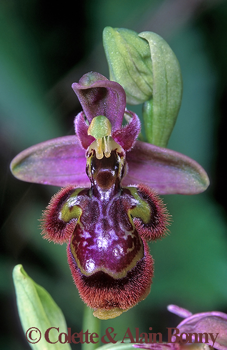 Ophrys picta × O. speculum