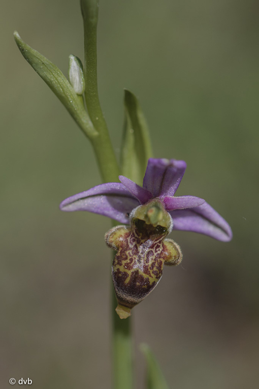 Ophrys querciphila