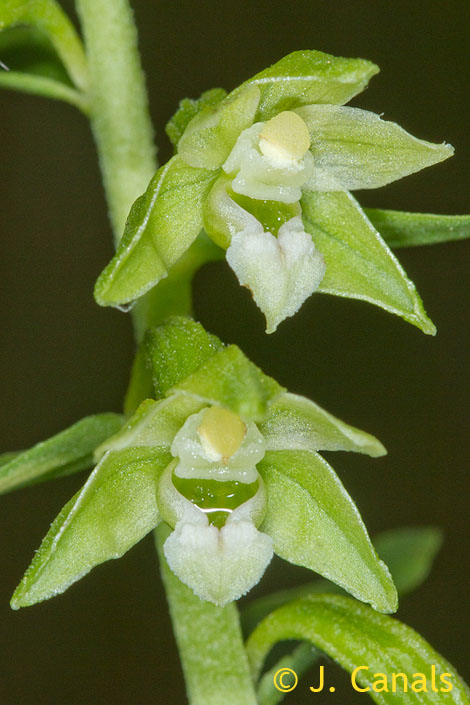 Epipactis phyllanthes