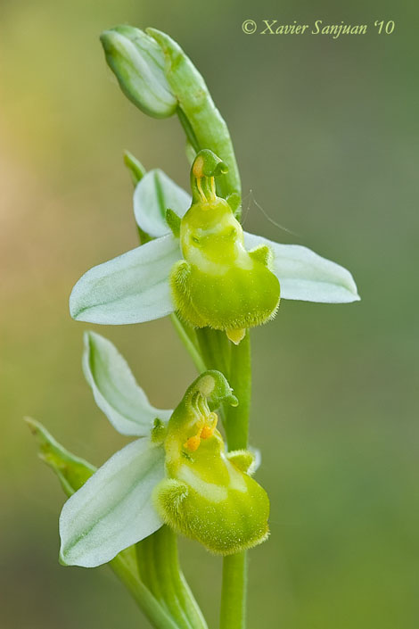 Ophrys apifera subsp. chlorantha