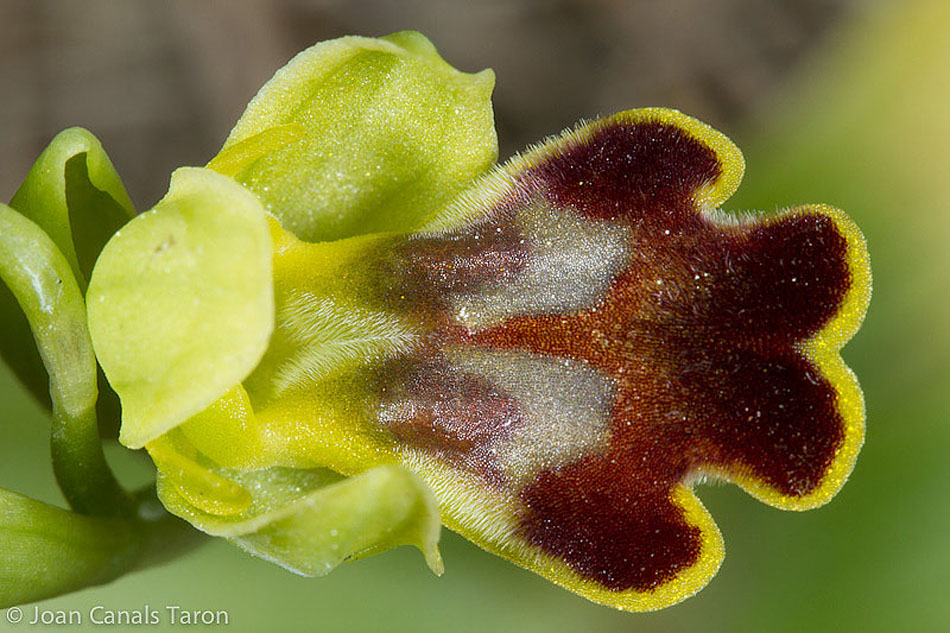 Ophrys dianica