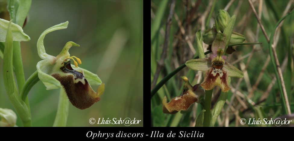 Ophrys discors