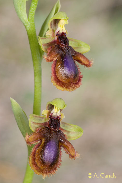 Ophrys lusianica