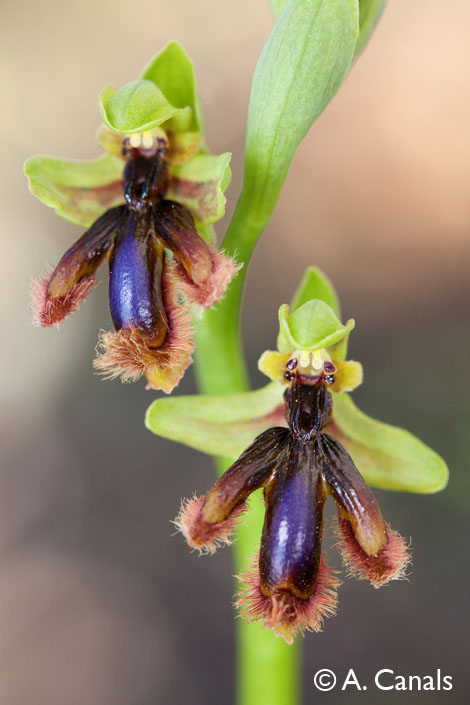 Ophrys lusitanica