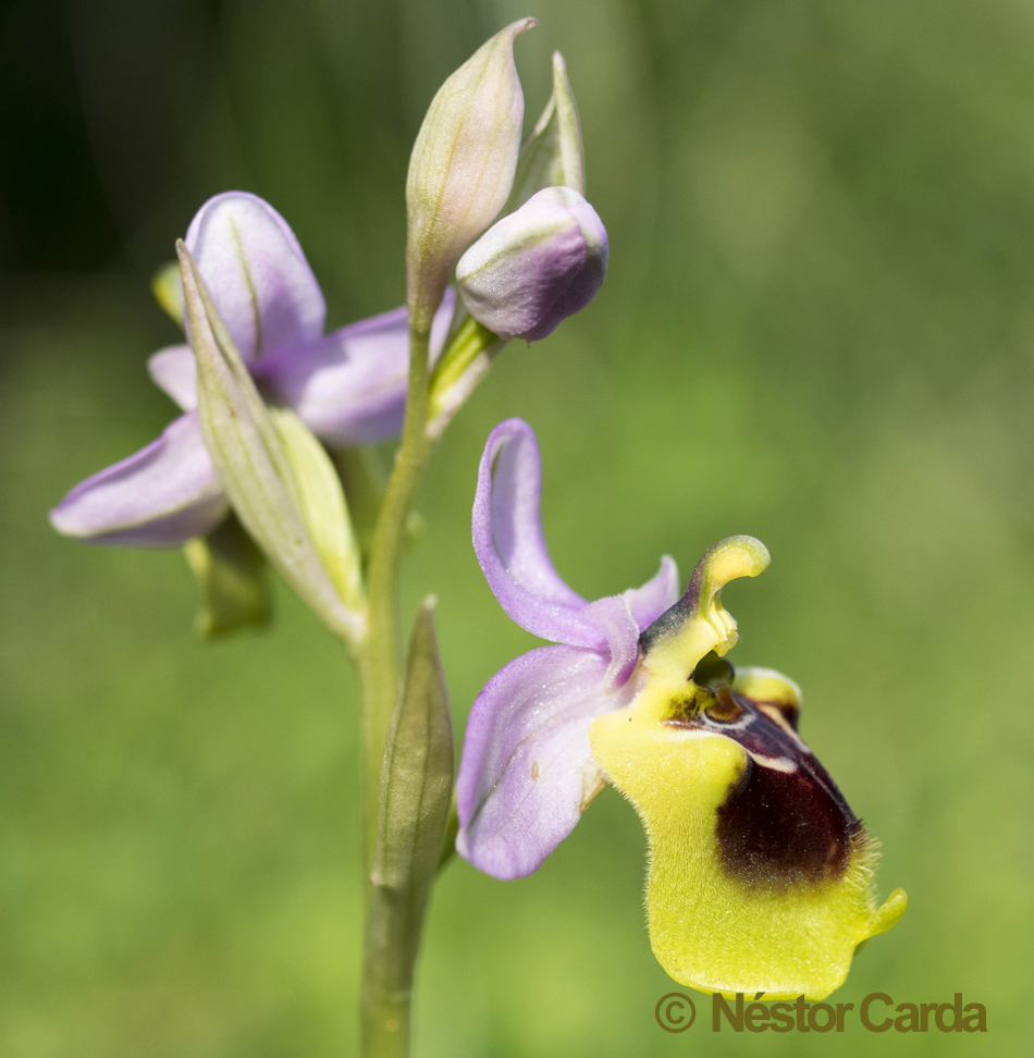 Ophrys spectabilis