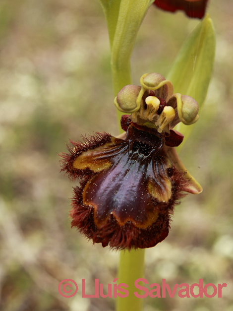Ophrys speculum - lusus