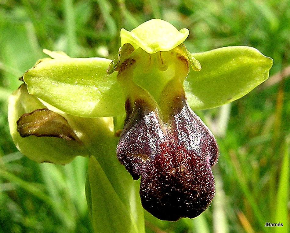 Ophrys sulcata