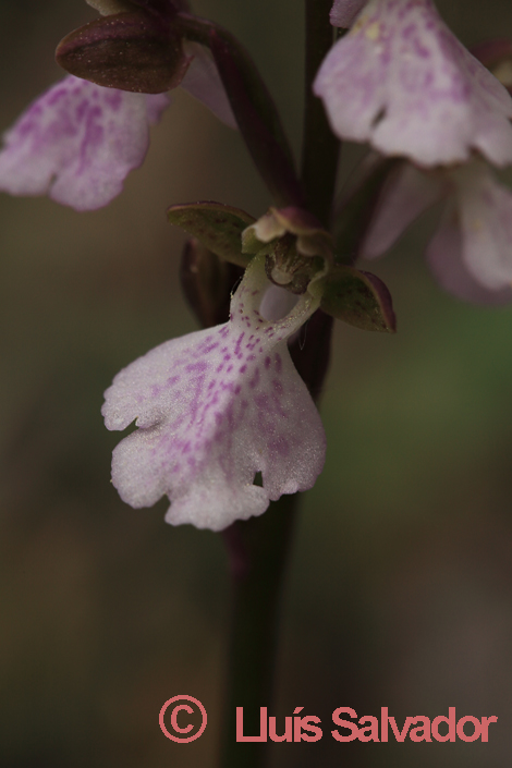 Orchis cazorlensis