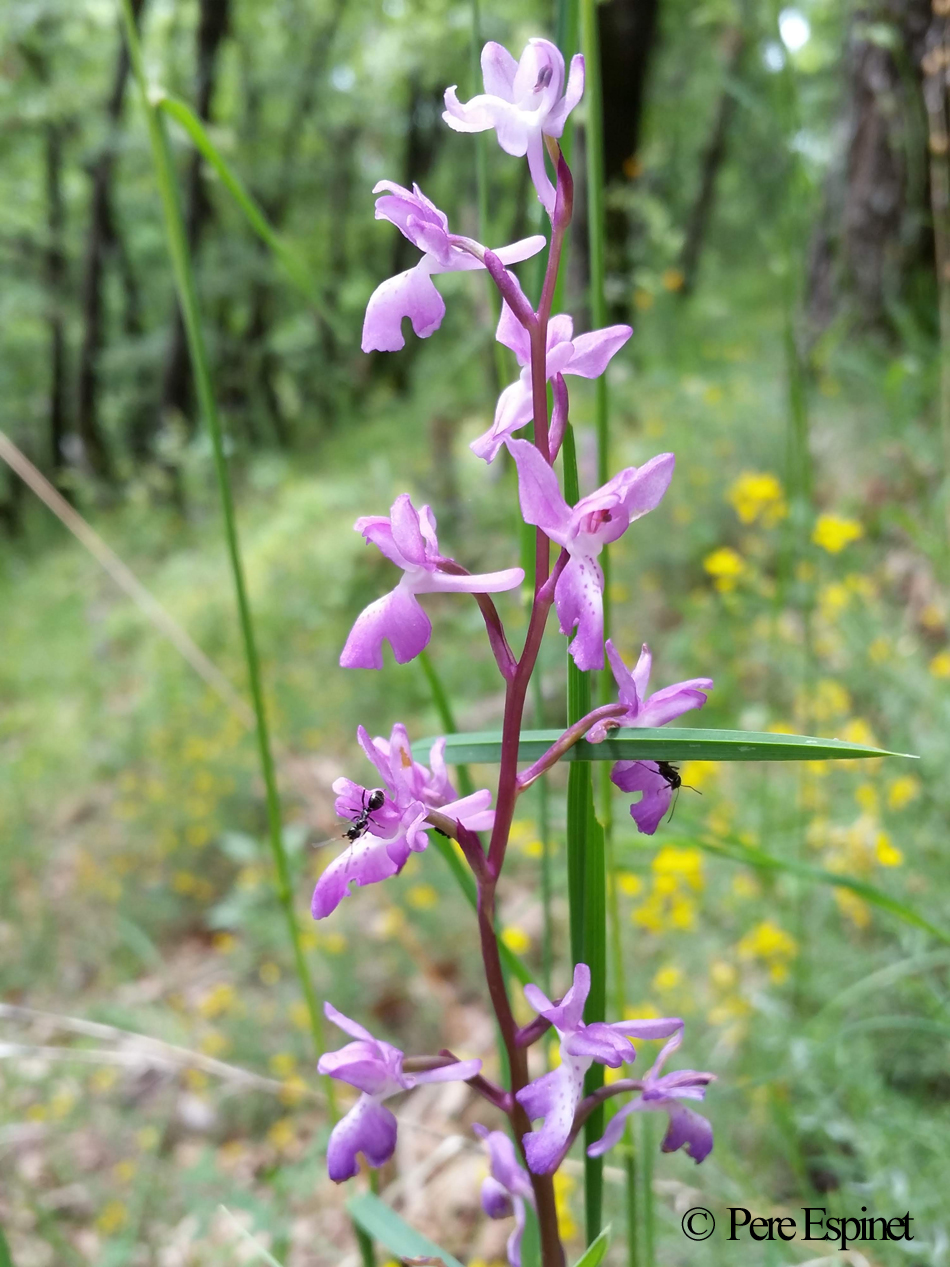 Orchis langei