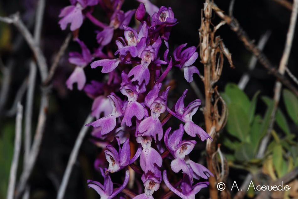 Orchis lapalmensis