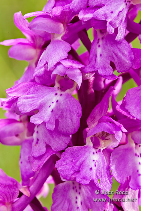 Orchis mascula